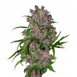 """""""Purple Bud"""" Auto Graines..."""